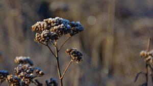 Yarrow plant.